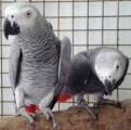 x mas hycinth macaw birds for adoption male and female?