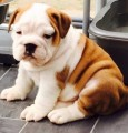 sweet and healthy male/female English bulldog puppies.