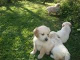Pedigree Golden Retriever Puppies. Fully Pedigree