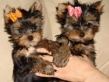 Top rated teacup yorkie puppies for free adoption