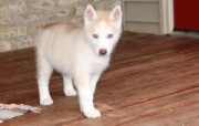 Very reserved siberian husky puppies 4 sale