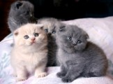 Unusual Black Scottish Fold Kittens Kitten