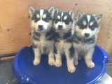 Home Raised~ Siberian Husky Puppies Available !!!