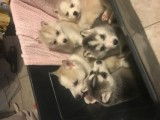 Excellent Pedigree Akc Siberian Husky Puppies Now  For Good Home