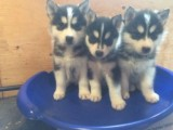 Three Healthyly Fed Akc Siberian Husky Puppies Available!!!!