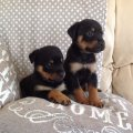 13 weeks old Rottweiler Puppies for Adoption