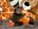Cute and well trained Marmoset Monkeys for adoption