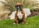 Fantastic boxer Puppies Available for sale
