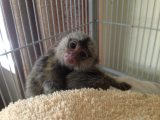 Male and female monkeys for sale