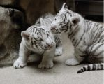 Tiger Cubs available for good homes