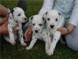 Cute Dalmatian Puppies Available for sale
