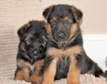 Affordable German Shepherd puppies for sale