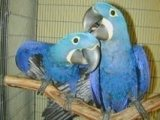 sweet males and females Hyacinth Macaw Parrots ready